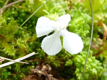 Flowering plant in Scotland - White lousewort Plant